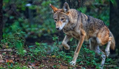 The 300: Red Wolf Populations in North Carolina